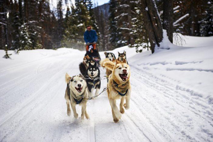 chiens de traineaux incentive